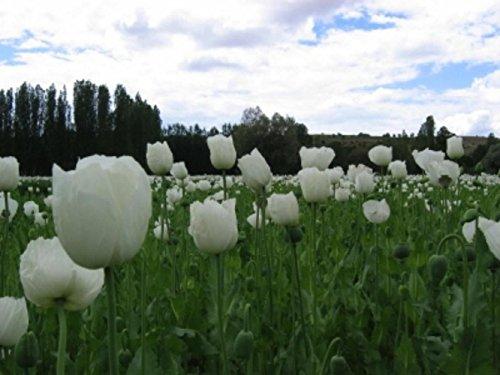 100 semilla blanca Peshwar amapola Papaver somniferum persa blanco Breadseed