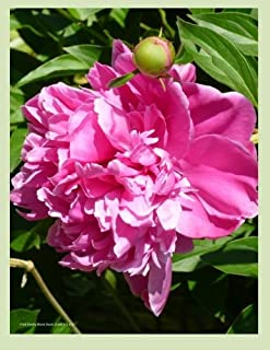 Pink Peony Blank Book Lined 8.5 x 11: 8.5 by 11 inch 100 page lined blank book suitable as a journal, notebook or diary wi...