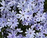 Early Spring Blue Creeping Phlox Perennial - Quart Pot