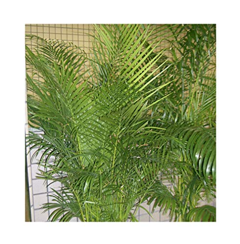 10 Semillas -Dypsis lutescens- (Areca palm) By Samenchilishop
