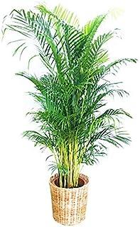 アレカヤシ ナチュラル鉢カバー付 優雅なヤシの木 観葉植物 10号 大鉢 観葉植物 インテリア 大型 オシャレ 大きい 尺鉢 大サイズ 本物