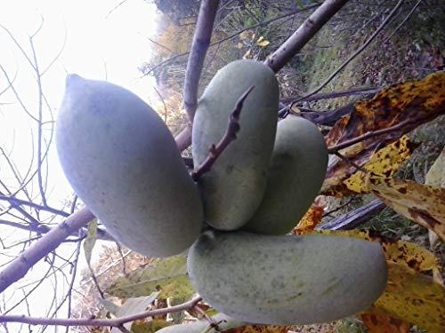 2 x Indianerbanane 40-120cm! 22 Vielfalt Asimina triloba gepfropft frosthart -25°C + Versandkosten