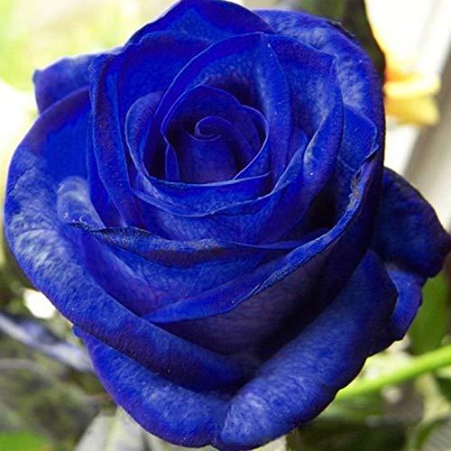 Luo-401XX 50 Piezas De Semillas De Flores De Rosa Azul, Hermosa Planta