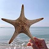 25-33 cm estrella de mar natural grande para manualidades, concha de concha, decoración de pared, paisajismo, plataforma de decoración de acuario de boda decoración