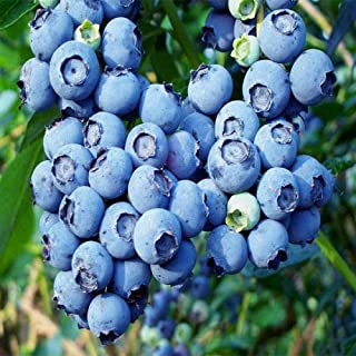Amazon.es: Blueberry: Jardín