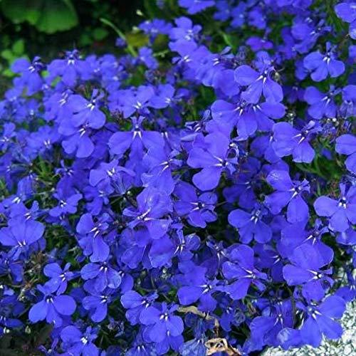 Lobelia nana blu (Semente)