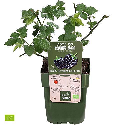 "Rubus fruticosus ""Loch Ness"" | 2er Set Brombeeren | Höhe 30-60cm | Topf-Ø 12cm"