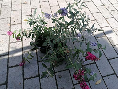 Buddleja davidii tricolor 25-30 cm Schmetterlingsflieder Sommerflieder - Fliederspeer