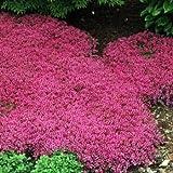 100 semillas - creeping semillas de tomillo alfombra mágica (Thymus serpyllum)