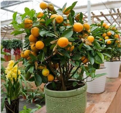 10pcs / lot Balcón Patio maceta Árboles frutales plantados Semillas kumquat naranja mandarina Citrus 2