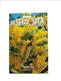 TROPICA albero mimosa-acacia argento (Acacia dealbata) - 35 semi