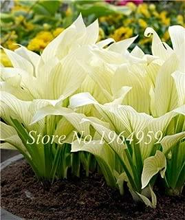 AGROBITS Sale ! 100 Pcs Bonsai Hosta Mixed Bonsai Jardin Perennials Lily Flower Pot White Lace DIY Home Garden Ground Cover Plant Grass: 11