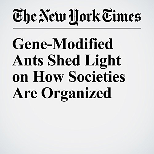 Gene-Modified Ants Shed Light on How Societies Are Organized copertina