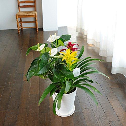 観葉植物 グズマニア&アンスリウム寄せ植え 8号※白丸鉢皿付