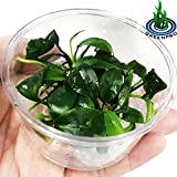 Greenpro (Anubias Barteri) Live Aquarium Plants in Tissue Cup Anubias, Cryptocoryne, Bucephalandra, Piptospatha Ridleyi and More 100% Pest Snail and Algae Free