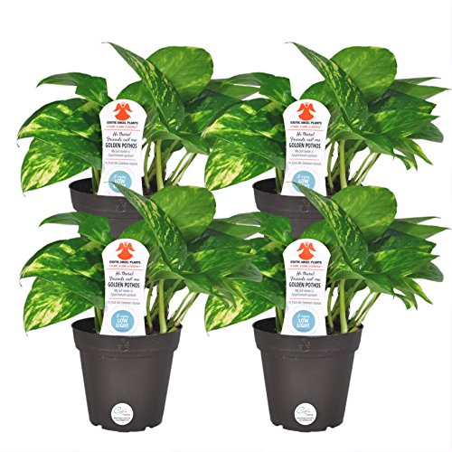Costa Farms Easy Care Devil's Ivy Pothos Live Indoor Plant, 4-Inch, Grower's Pot...