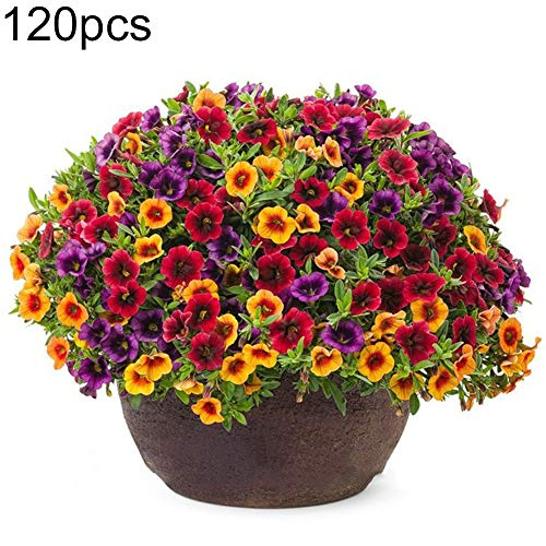 Academyus Gloxinia Seeds 120Pcs Mixed Gloxinia Calibrachoa Petunia Flower Seeds Garden Yard Bonsai Plant Flower Seeds for Garden(120pcs Gloxinia Seeds)