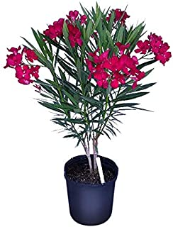 PlantVine Nerium Oleander 'Calypso', Oleander - Large, Bush - 8-10 Inch Pot (3 Gallon), Live Plant