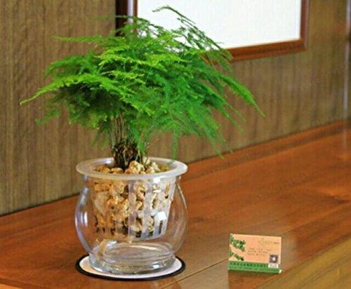 Véritables graines de buis 11 sortes de buis bonsaï choix d'insectes à l'intérieur plante répulsive -100 pcs