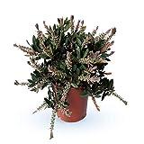 Fleur de Botanicly – Rince Bouteille – Hauteur: 50 cm –...