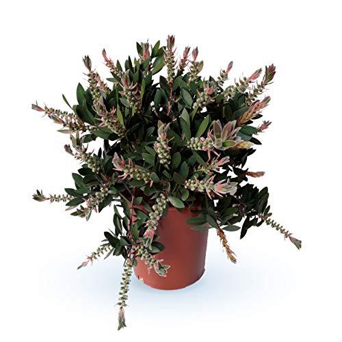 Blume – Zylinderputzer – Höhe: 50 cm