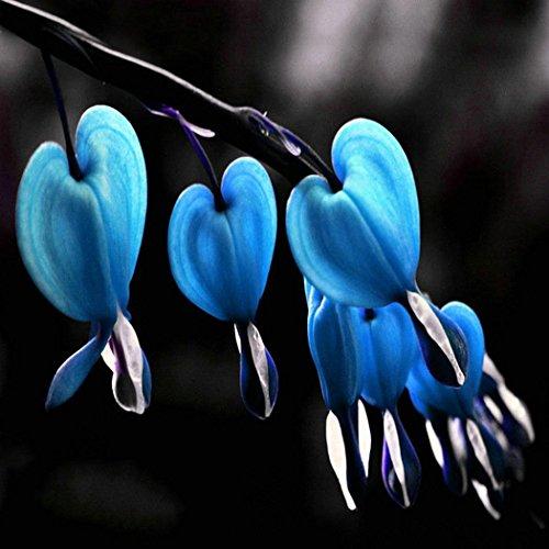 Beautytalk-Garten Seltene MulticolorTränendes Herz 'Der Klassiker'(Dicentra spectabilis) Blumensamen Saatgut winterhart mehrjährig Blumen für Balkon/Garten