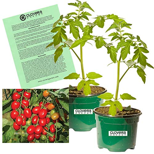 """Clovers Garden 2 Fantastico Tomato Plants Live – 4"""" to 7"""" Tall, 3.5"""" pots – Non-GMO, Determinate, Grape-Type, Blight-Resistant, Includes Copyrighted Clovers Care Guide"""