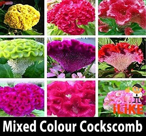 ScoutSeed Semillas de flor orgánicas del jardín de la cresta de gallo del color mezclado x 50 mínimo lleno de color