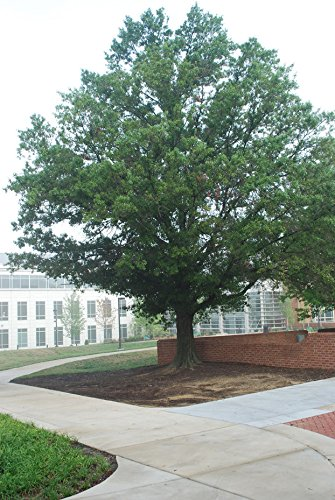 Quercus laurifolia LAUREL OAK TREE Seeds!