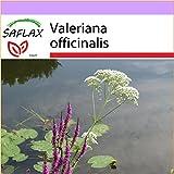 SAFLAX - Valeriana - 200 semillas - Valeriana...