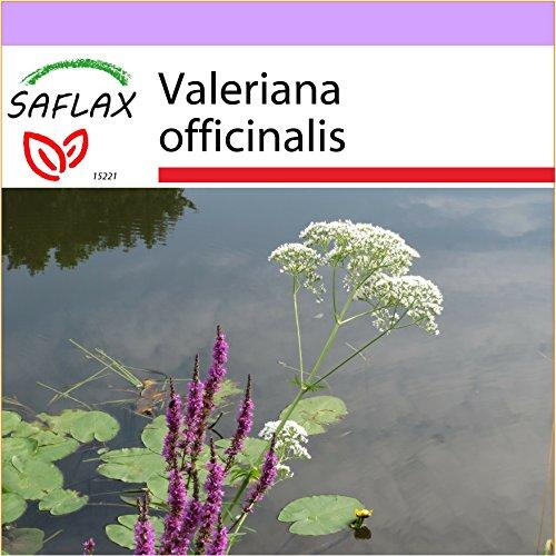 SAFLAX - Valériane officinale - 200 graines - Valeriana officinalis
