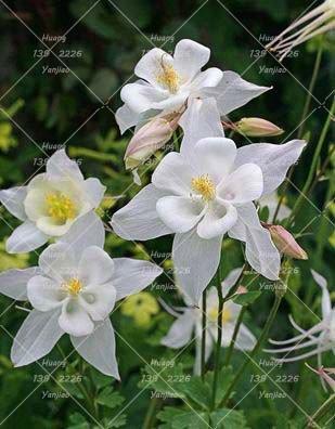 100PCS Double Aquilegia (Columbine) Graines rares Bonsai Graines de fleurs longue saison Bloom plantes vivaces pour jardin 8