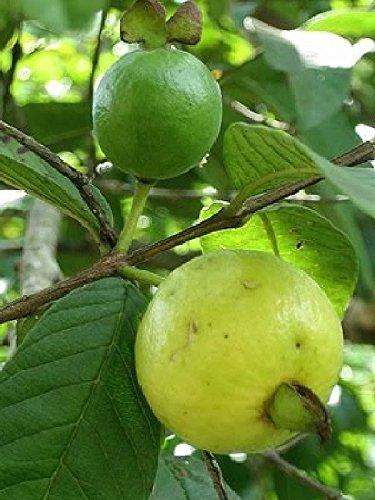 Psidium angulatum - Brasilianische Guave - seltene tropische Pflanze Strauch Samen (10)
