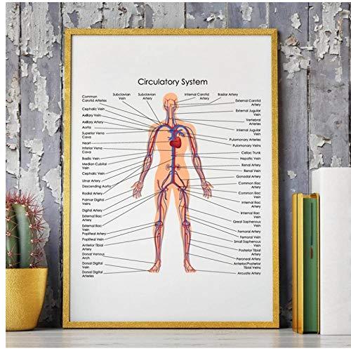 DLFALG Diagrama del sistema circulatorio del cuerpo humano P