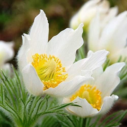 Weiß Kuhschellen Samen - Anemone pulsatilla