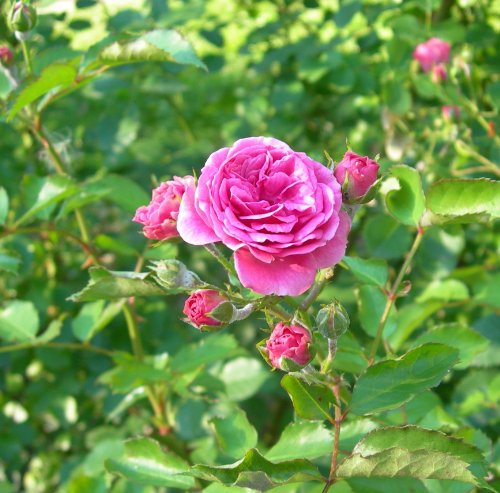 Affordable Rose essential oil 10% in Jojoba oil 250ml