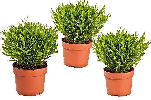 Zimmerbammbus, (Pogonatherum Monica), pflegeleichte asiatische Zimmerpflanze (3 Pflanzen, je im 12cm Topf)