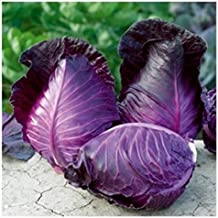kalibos cabbage seed