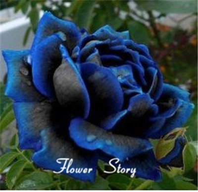 Livraison gratuite 20 Seeds Midnight Rose suprême, couleur rare, réel graines, bricolage Idéal jardin de fleurs