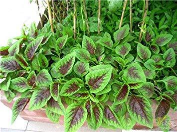 Potseed Freies Verschiffen 50 PC Amaranthus Tricolor Samen Frühe Splendor Grassamen, seltene Pflanzensamen Topfpflanze Essbare Gesundes 13