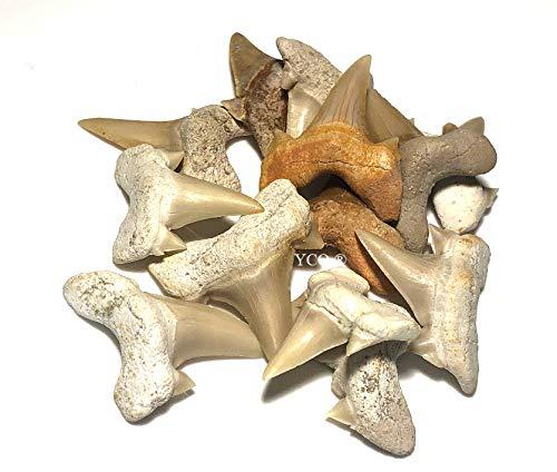 10x Echte versteinerte Haifischzähne | Fossil Shark Teeth