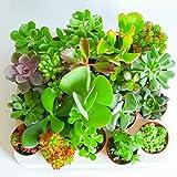 Italy Green Life 6 Piante Grasse Vere Rare Succulenti Vaso Diametro 5.5cm Coltivazione Senza Spine Set di Produzione  Piantine Da Interno, Ufficio, Bomboniere, Scrivania  6 Piante Vere da Interni