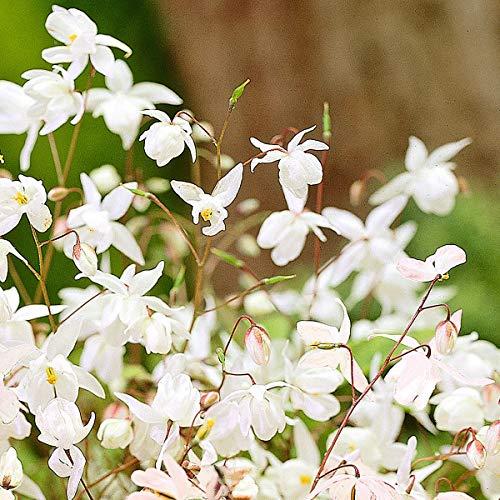 Qulista Samenhaus - 50pcs Selten Weiße Elfenblume Filigraner und robuster Bodendecker Blumensamen winterhart mehrjärhig, Ideal für schattige Lagen und unter Gehölzen