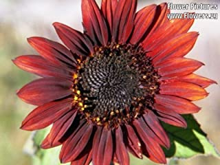 25 RED VELVET QUEEN SUNFLOWER Helianthus Annuus Flower Seeds