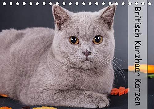 Britisch Kurzhaar Katzen (Tischkalender 2021 DIN A5 quer)