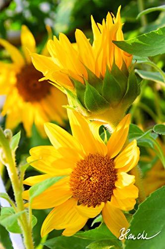 Blanche´s Fantastische Welt der Blume, Blüte auf Leinwand, Gemälde Kunstdruck. Foto auf Holz - Keilrahmen fertig aufgespannt hochwertig Bedruckt, (Sonnenblumen, 60 x 90 cm)