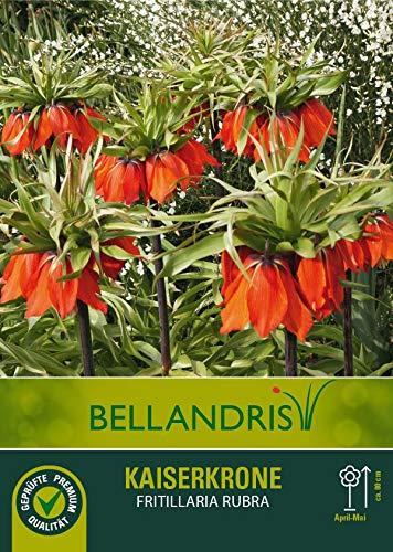 mgc24® Kaiserkrone Fritillaria imperialis Rubra - 3 Blumenzwiebeln (ca. 22mm)