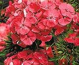"Pink-orange Sweet William""Newport Pink"" - semilla"