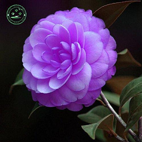 rares graines de camélia Purple monde 10PC. La croissance naturelle des plantes colorées. Bonsai camélia G23