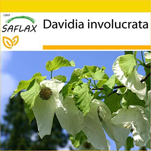 SAFLAX - Anzucht Set - Taschentuchbaum - 1 Samen - Mit Mini-Gewächshaus, Anzuchtsubstrat und 2 Töpfen - Davidia involucrata